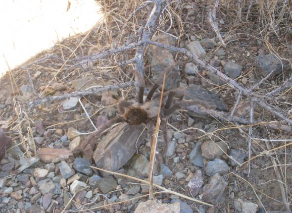 A tarantula navigates through the desert.