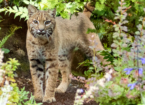 Bobcat Wanders Through a Backyard in Washington