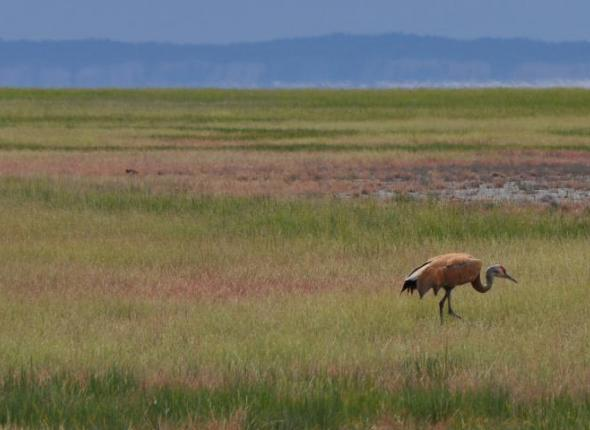 ABOVE: a sandhill crane. Photo via Wikipedia.