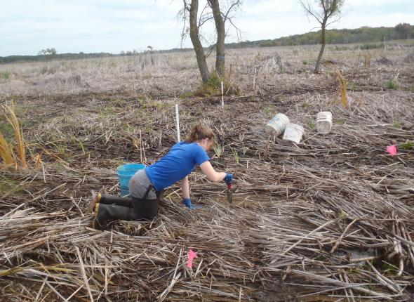 Rose installing plants in Cowles Bog
