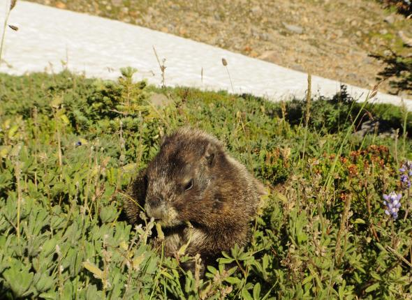 A Marmot at Mt. Rainer Nat'l Park