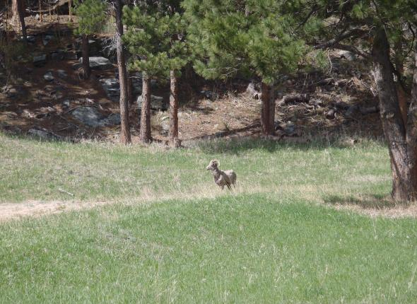 Wildlife SCA VFC 2 2013 - BHNF Big Horn Sheep