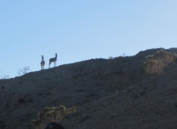 Burros, not burrows