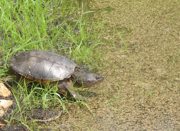 A local snapping turtle we have affectionately named Carl.