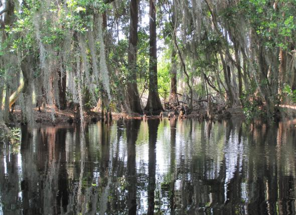 A cypress stand at Okefenokee NWR, GA.