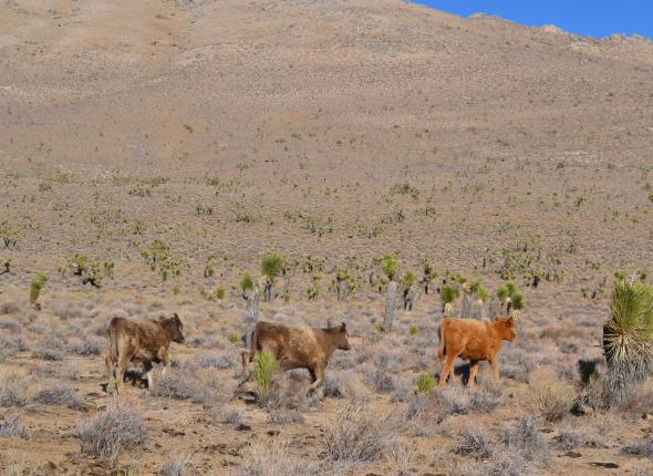 Cattle in Horse Canyon