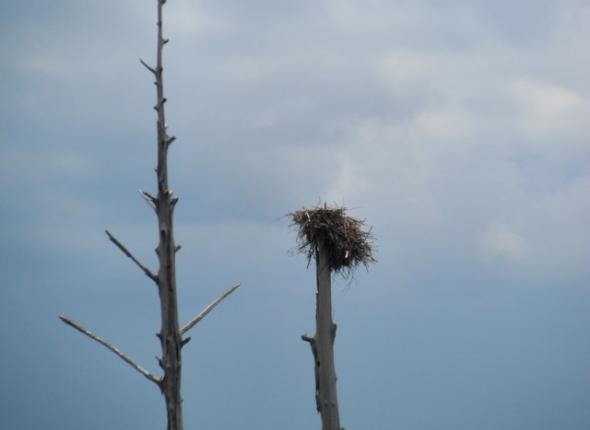 Bird watching in Mississippi: An osprey nest!