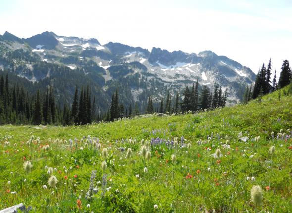 """Bushwhacking"" through an alpine meadow on the way to Lake Alice."