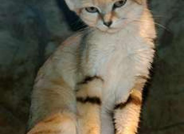King Sand Cat