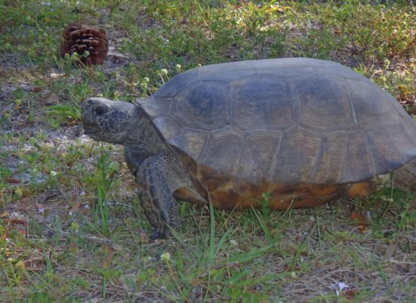 Here is a gopher tortoise. You're welcome.