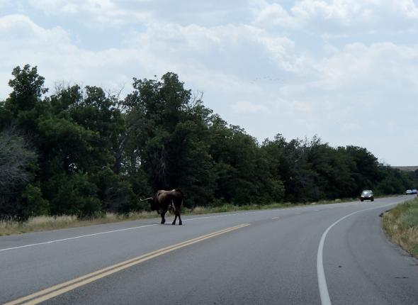 A random cow on the road.