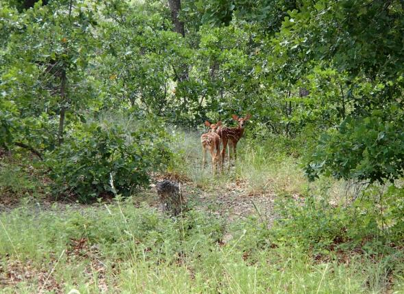 A couple of fawns.