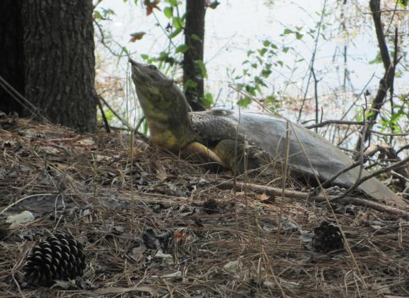 A soft shell turtle at Santee NWR in South Carolina