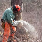 SCA ECC member takes down dead pine with chainsaw at Connetquot State Park