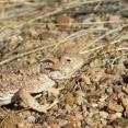 Horned lizard at Red Rock Canyon State Park.