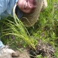 Kristina installing Carex strica in the Great Marsh