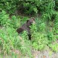 Brown bear along Alaska Highway 1