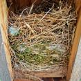An Eastern Bluebird nest
