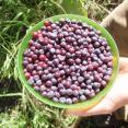 Mmmm huckleberries!